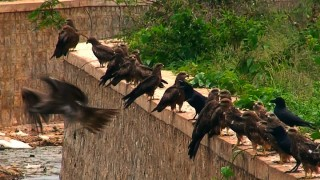 Eagles in India